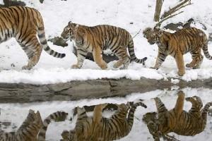 3 tigri contro 3 tigri