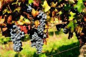 tusc-lucchesi-grapes